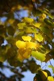 Jesieni zielony żółty ciężki ulistnienie Zdjęcie Stock
