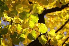 Jesieni zielony żółty ciężki ulistnienie Obraz Stock
