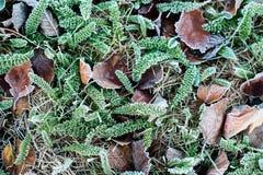 Jesieni, zimy liście Zakrywający W wczesnym poranku/Gruntują mróz Zdjęcia Stock