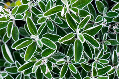 Jesieni, zimy liście Zakrywający W wczesnym poranku/Gruntują mróz Zdjęcie Royalty Free