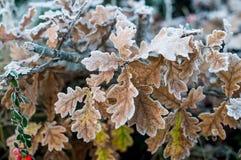 Jesieni, zimy liście Zakrywający W wczesnym poranku/Gruntują mróz Zdjęcia Royalty Free