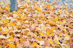 Jesieni, zimy liście Zakrywający W wczesnym poranku/Gruntują mróz Fotografia Stock