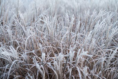 Jesieni, zimy trawa Zakrywająca W wczesnym poranku/Gruntuje mróz Zdjęcia Royalty Free