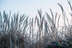 Jesieni, zimy trawa Zakrywająca W wczesnym poranku/Gruntuje mróz Obrazy Stock