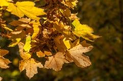 jesienią, zostaw upadek klonów Canada Fotografia Stock