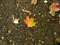 jesienią, zostaw upadek klonów Canada Obraz Stock