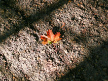 jesienią, zostaw upadek klonów Canada Zdjęcie Stock