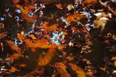 jesienią, zostaw upadek klonów Canada Obrazy Stock