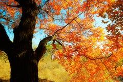Jesienna liść klonowy sceneria Obrazy Royalty Free