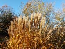 Jesienna Ornamentacyjna trawa w wieczór świetle obrazy royalty free