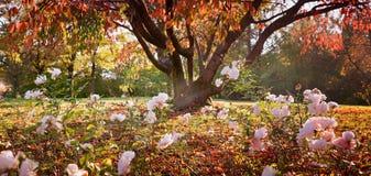 Jesienna sceneria w parku z różanym flowerbed i czereśniowym drzewem Obraz Royalty Free
