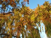 Jesienne gałąź Jutrzenkowy Redwood w wieczór zaświecają zdjęcie stock
