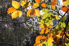 Jesienni barwioni liście w ulewnym deszczu Obraz Royalty Free