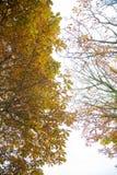 Jesienni brązowi drzewa z białymi jaskrawymi chmurniejącymi niebami Obraz Royalty Free