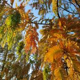 Jesienni colours Jutrzenkowy Redwood w wieczór zaświecają obrazy royalty free