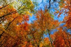 Jesienni drzewa przy lasem w Carpathians Obraz Stock