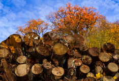 Jesienni drzewa przy lasem w Carpathians Obraz Royalty Free