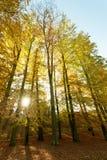 Jesienni drzewa w świetle słonecznym Zdjęcie Royalty Free