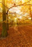 Jesienni drzewa w świetle słonecznym Obraz Royalty Free