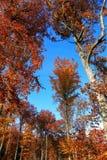 Jesienni drzewa w lesie Obraz Stock