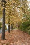 Jesienni drzewa z spadać opuszczają na bruku Obraz Stock