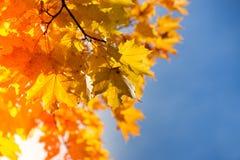 jesienni liście klonowi obrazy royalty free