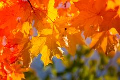 Jesienni liście klonowi w zamazanym tle zdjęcia stock