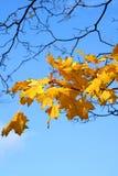 jesienni liście Fotografia Royalty Free