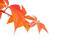 Jesienni liście bluszcz Fotografia Royalty Free