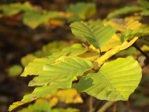 Jesienni liście buk Obraz Stock