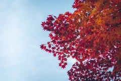 jesienni liście klonowi Zdjęcia Royalty Free