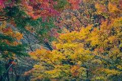 jesienni liście klonowi Zdjęcie Royalty Free