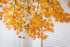 jesienni liście klonowi Obraz Royalty Free