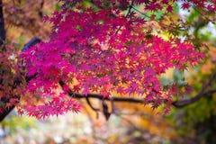jesienni liście klonowi Obraz Stock