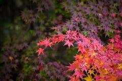 jesienni liście klonowi Fotografia Stock
