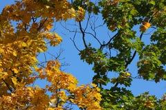 Jesienni liście na klonowym drzewie zdjęcie stock