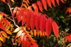 Jesienni naturalni cienie czerwień Rhus typhina sumy liście dalej fotografia royalty free
