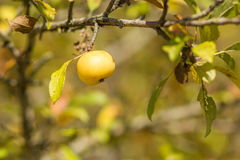 Jesienni tła z żółtym jabłkiem zdjęcia stock