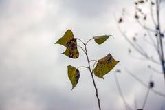 Jesienni więdnący liście Zdjęcie Royalty Free