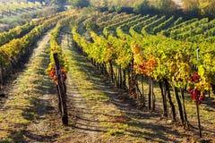 jesienni winnice Zdjęcia Stock