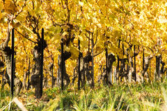 jesienni winnice fotografia royalty free