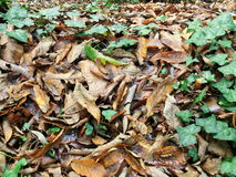 Jesienni wysuszeni liście Zdjęcie Royalty Free