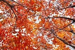Jesienny Cotinus coggygria las Zdjęcia Royalty Free