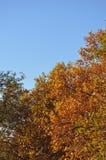 Jesienny drzewo i niebieskie niebo Obraz Royalty Free