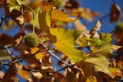 Jesienny drzewo i niebieskie niebo Fotografia Stock