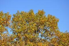 Jesienny drzewo i niebieskie niebo Zdjęcie Royalty Free