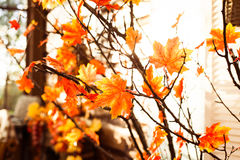 Jesienny drzewo z pomarańczowymi liśćmi Obraz Stock
