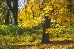 jesienny dzień opuszczać melancholicznego kolor żółty jesienią zbliżenie kolor tła ivy pomarańczową czerwień liści Spadku tło Fotografia Stock