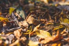 jesienny dzień opuszczać melancholicznego kolor żółty jesienią zbliżenie kolor tła ivy pomarańczową czerwień liści Spadku tło Obrazy Royalty Free