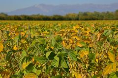 jesienny fasoli pola soya Obrazy Royalty Free